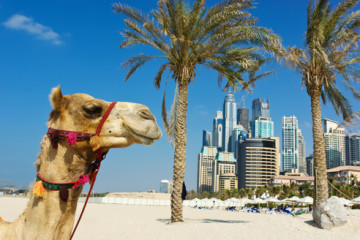 Camel at the urban building background of Dubai. UAE